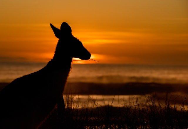 Kangaroo on a beach during sunset
